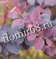 berberis_superba