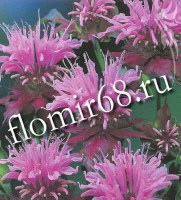 monarda_beauty_of_cobham5