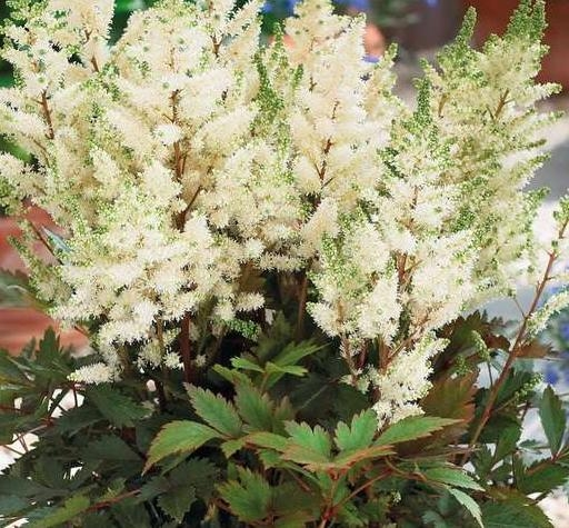 astilbe_hybrid_younique_white