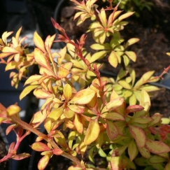 berberis_golden_dream