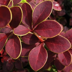 berberis_golden_ring