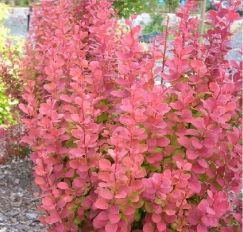 berberis_orange_rocket